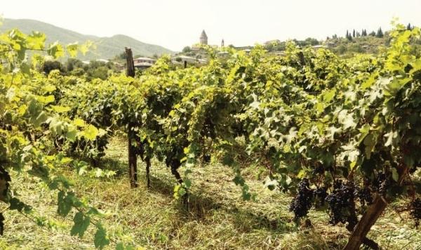 Georgien: Wiege des Weins, Weinberge